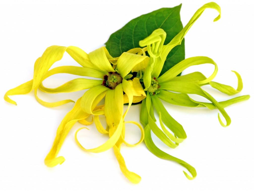 ylang ylang blossoms
