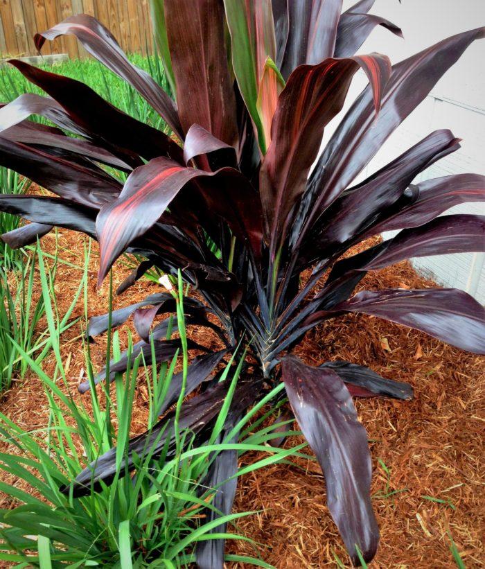Black Magic Ti Plant