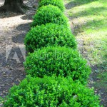THE CLASSY JAPANESE BOXWOOD: AN ARTISTREE FAVORITE