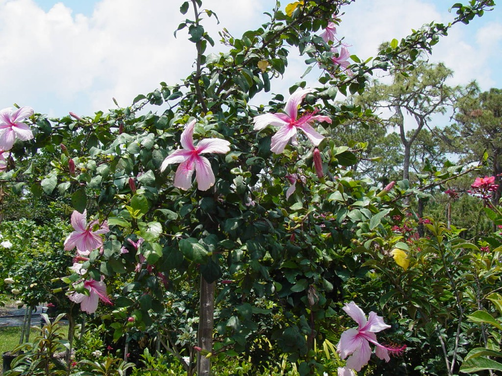 Anderson's pink hibiscus