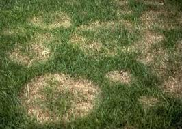 grass with brown spots