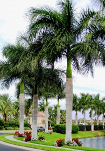 Cuban Royal palms
