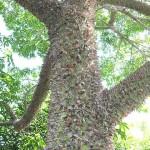 silk floss trunk