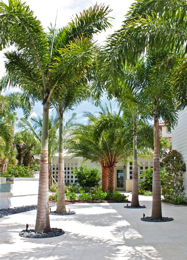 Sarasota wild date palms and Cuban royal palms