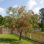 ARTISTREE TIP: FOR OUTDOOR ELEGANCE, CONSIDER A WEEPING BOTTLEBRUSH TREE.