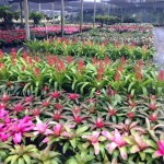 BROMELIADS IN FLORIDA LANDSCAPES