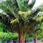 MULE PALM ADDS KICK TO FLORIDA LANDSCAPES.