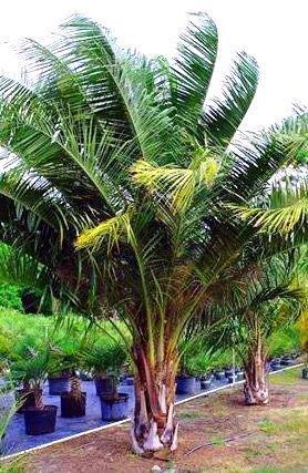 mule palm
