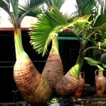 DESIGNING YOUR LANAI WITH BOTTLE PALMS.