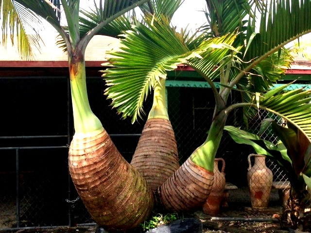 triple bottle palm