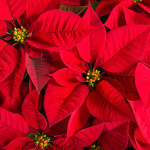 POINSETTIA PERFECTION