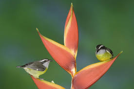 heliconia and chickadees