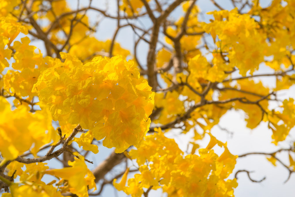 yellow tabebuia bloom