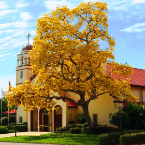 Yellow tabebuia tree