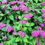 PENTAS WILL MAKE BUTTERFLIES AND HEARTS FLUTTER.
