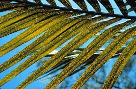 boron deficiency in palm frond