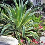 WHY FLORIDA LANDSCAPE LOVERS TOAST THE AMAZING AGAVE