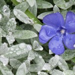 ADD A SILVERY LUSTER TO YOUR FLORIDA LANDSCAPE