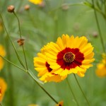 COREOPSIS: FLORIDA'S STATE WILDFLOWER WILL DRIVE YOU WILD