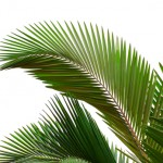 THE CARNAVON GORGE PALM: TALL, DARK & HANDSOME