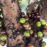 JABOTICABA WILL GET YOU INTO A JAM