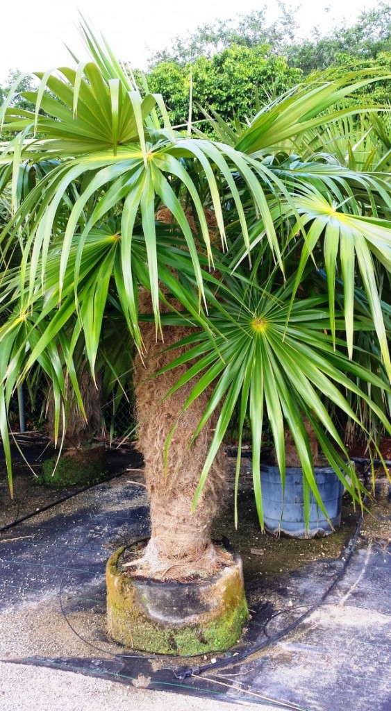Old man palm