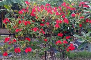 tropical dogwood