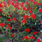UNLEASH COLOR IN YOUR LANDSCAPE WITH TROPICAL DOGWOOD