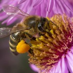 BEE INFORMED: WHY YOUR  SW FLORIDA LANDSCAPE NEEDS POLLINATORS