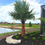 FAN-SHAPED CARANDAY PALM ATTRACTS SARASOTA FANS