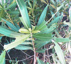 eaten oleander leaves
