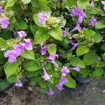 FLIPPING OVER FABULOUS PHILIPPINE VIOLETS