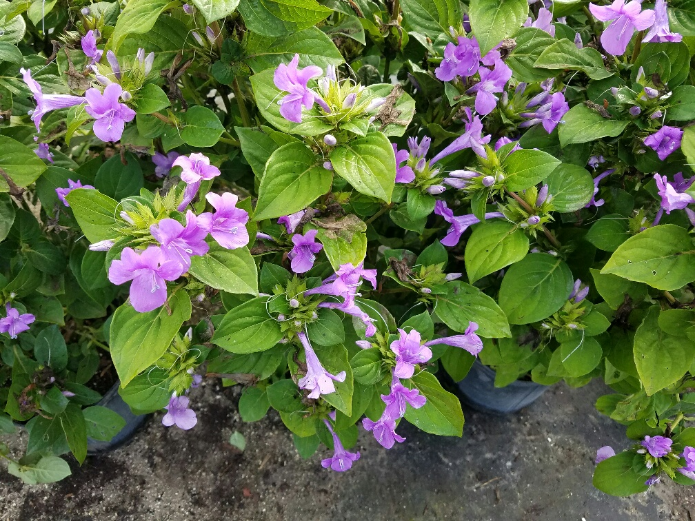 Philippine violets