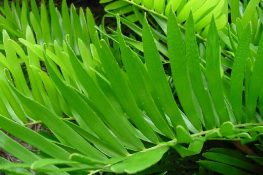 Coontie Adds a Prehistoric Touch to Florida Landscape