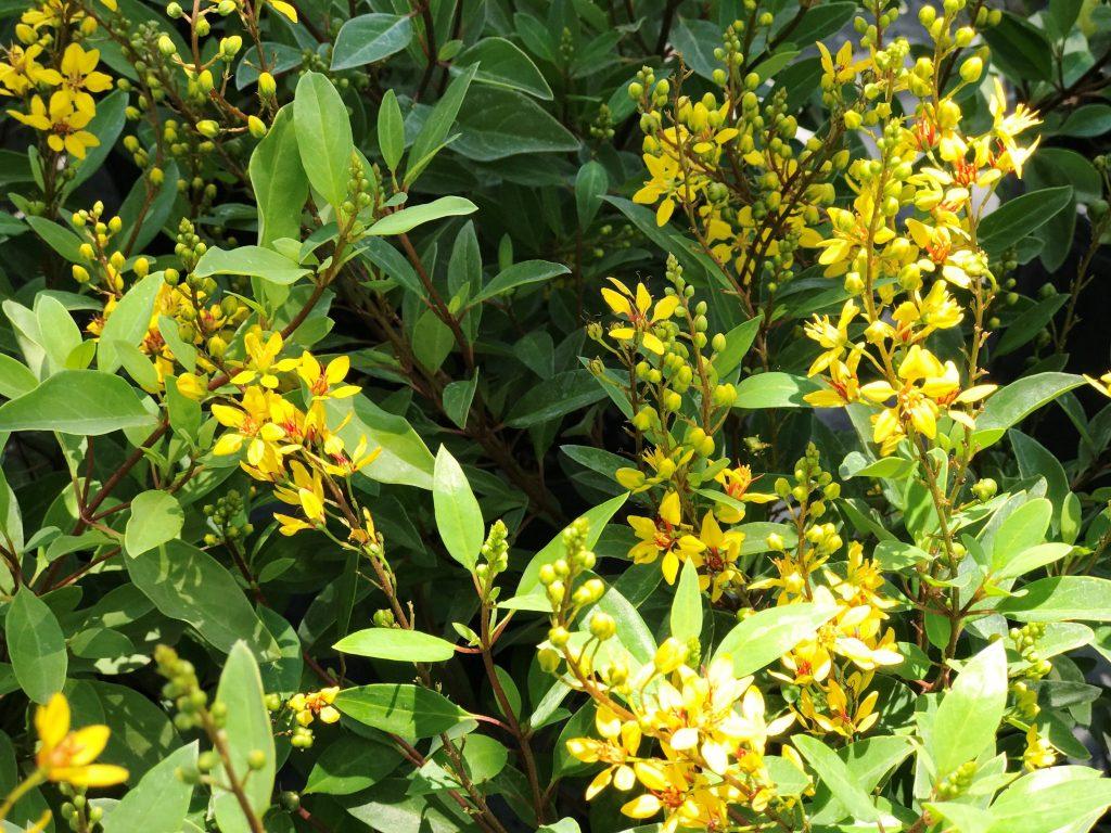 Floridas prettiest flowering shrubs thrilling thryallis artistree mightylinksfo