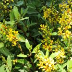 Florida's Prettiest Flowering Shrubs: Thrilling Thryallis