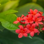 Dwarf Jatropha: Star of South Florida Landscapes