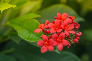 Dwarf Jatropha bloom