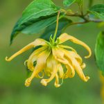 Add Ylang ylang to Your Florida Landscape for a Hint of Chanel No. 5