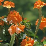 Lovely Crossandra: The Tropical Bloomer That Won't Quit