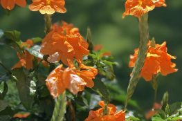 The Tropical Bloomer That Won't Quit: The Lovely Crossandra