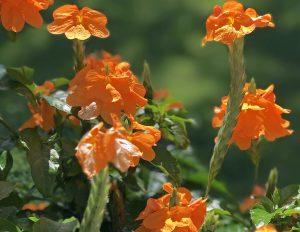 crossandra bloom