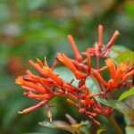 Firebush: A Bullet-proof South Florida Native