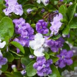 Brunfelsia shrub: A beautiful tongue twister
