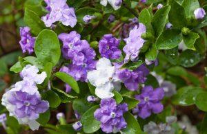 Brunfelsia shrub