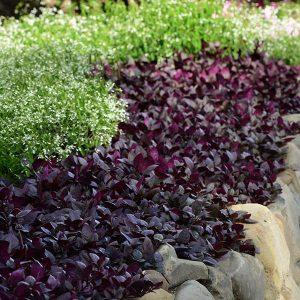 purple prince plant