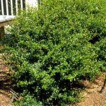 Walter's Viburnum: One of Florida's Forgotten Hedges