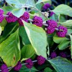 American Beautyberry Will Give You Butterflies