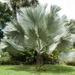The Silver Bismarck Palm: Prince of Florida Landscapes