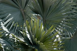 Silver Bismarck palm fronds